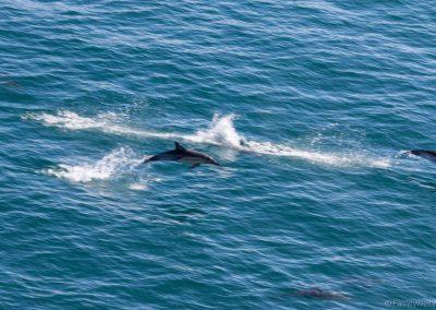 Delphine begleiteten die Fahrt der Interislander Fähre durch die Bucht bei Wellington, Neuseeland