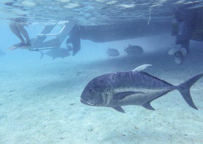 Stachelmakrele, Lagoon Cruise , Aitutaki, Cookinseln