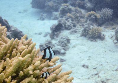 Dreibinden-Preussenfisch, Lagoon Cruise , Aitutaki, Cookinseln