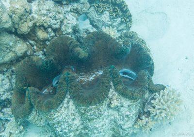 Riesenmuschel, Lagoon Cruise , Aitutaki, Cookinseln