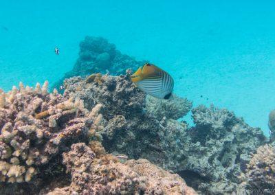 Fähnchen-Falterfisch, Lagoon Cruise , Aitutaki, Cookinseln
