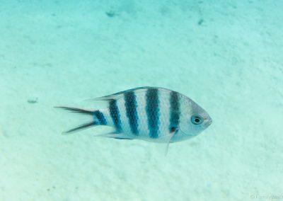Scherenschwanz-Sergant, Lagoon Cruise , Aitutaki, Cookinseln