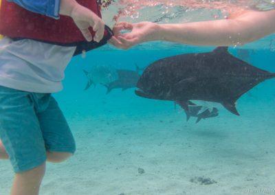 Inmitten von Stachelmakrelen, Lagoon Cruise , Aitutaki, Cookinse