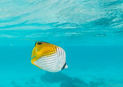 Fähnchen-Falterfisch, Rarotonga, Cookinseln