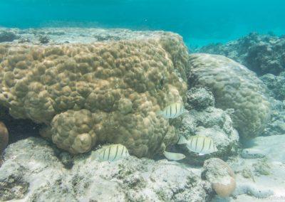 Gitter-Doktorfische, Rarotonga, Cookinseln