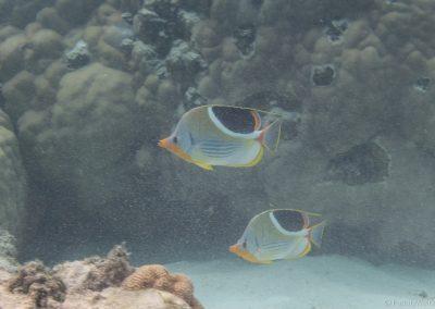 Sattelfleck-Falterfische, Rarotonga, Cookinseln