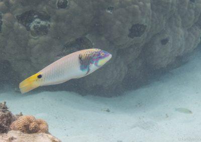 Dreifleck-Lippfisch, Rarotonga, Cookinseln