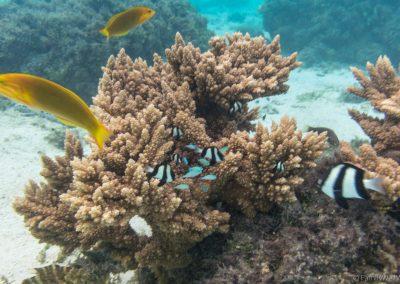 Dreibinden-Preussenfische und Gelb Braune Lippfische, Rarotonga,