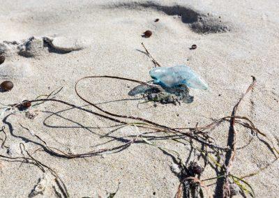 Qualle, Blue Bottle Jelly, Cosy Corner, West-Australien