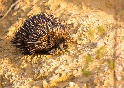 Schnabeligel, Nambung NP, West-Australien