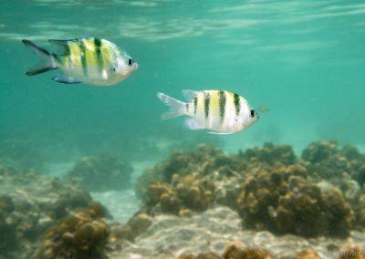 Fische, Ko Lipe